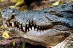 australian saltwater crocodile 150x99 Australian Saltwater Crocodiles Facts