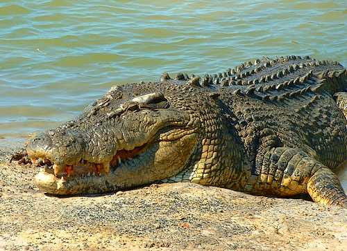 australian saltwater crocodile01 Australian Saltwater Crocodiles Facts