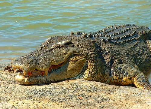 australian saltwater crocodile01 Australian Saltwater Crocodiles Facts
