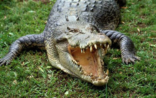 australian saltwater crocodile02 Australian Saltwater Crocodiles Facts