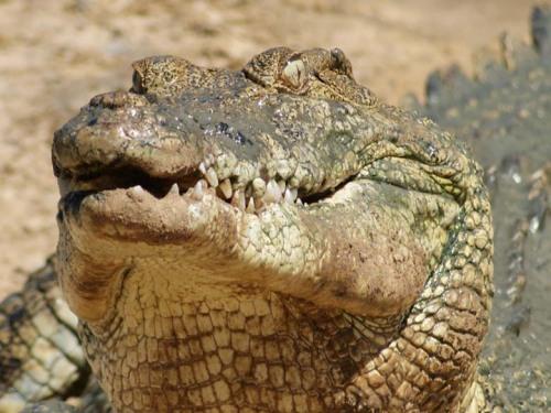 australian saltwater crocodile03 Australian Saltwater Crocodiles Facts
