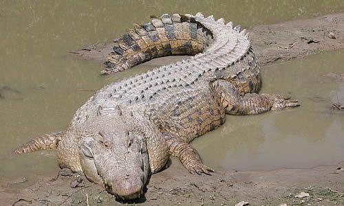 australian saltwater crocodile04 Australian Saltwater Crocodiles Facts