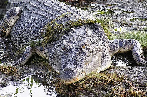 australian saltwater crocodile05 Australian Saltwater Crocodiles Facts