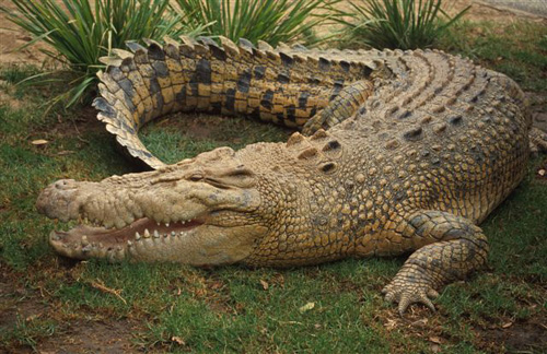 australian saltwater crocodile06 Australian Saltwater Crocodiles Facts