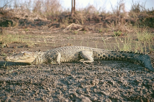 australian saltwater crocodile07 Australian Saltwater Crocodiles Facts