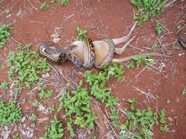 Python Eats Kangaroo The