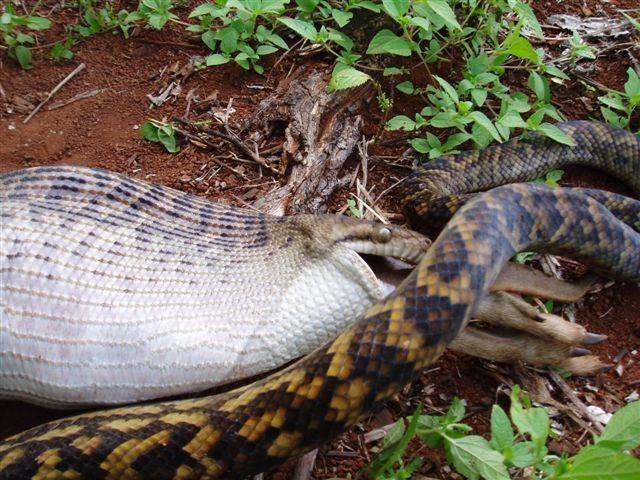 The Python eats a Kangaroo!