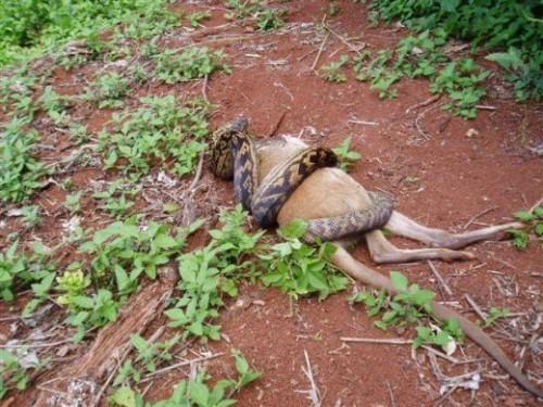 Image Python Eats Kangaroo