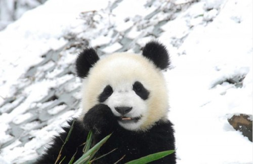 panda01 500x324 Amazing Photos of Pandas Play in Snow