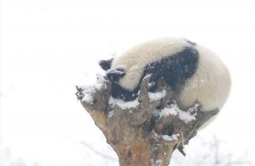 panda03 500x325 Amazing Photos of Pandas Play in Snow