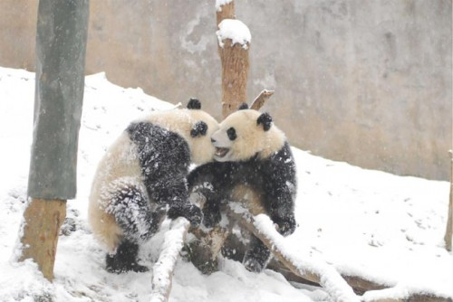 panda04 500x334 Amazing Photos of Pandas Play in Snow