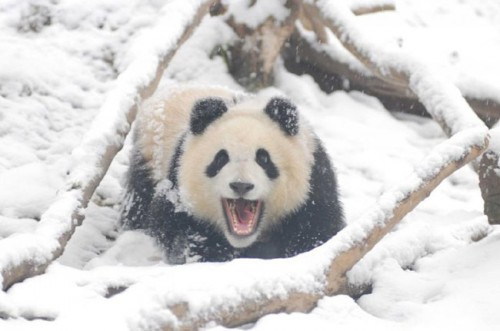 panda05 500x331 Amazing Photos of Pandas Play in Snow