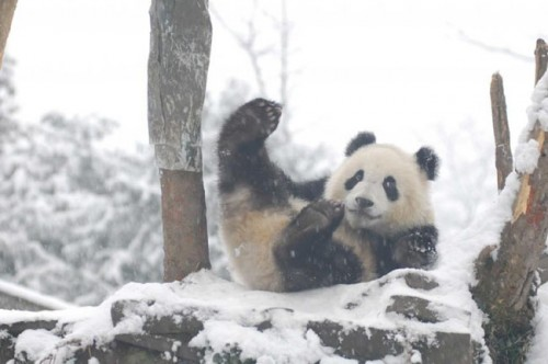 panda06 500x332 Amazing Photos of Pandas Play in Snow