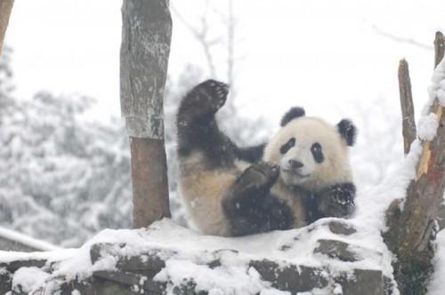 panda06 500x332 Amazing Photos of Pandas Play in Snow