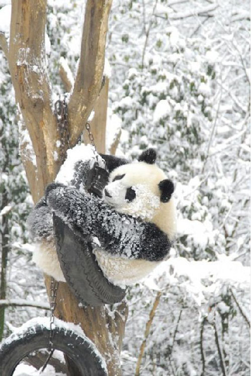 panda07 Amazing Photos of Pandas Play in Snow