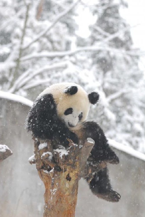 panda08 Amazing Photos of Pandas Play in Snow