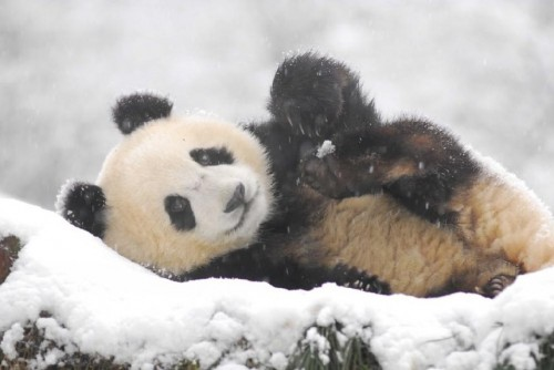 panda09 500x334 Amazing Photos of Pandas Play in Snow