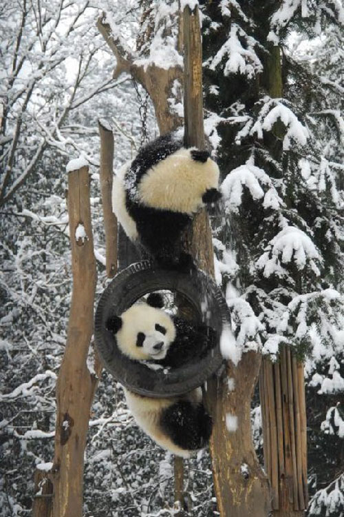 panda10 Amazing Photos of Pandas Play in Snow