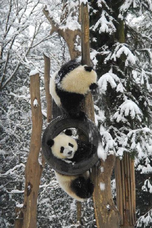 panda10 Amazing Photos of Pandas Play in Snow