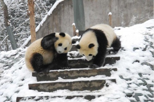 panda11 500x332 Amazing Photos of Pandas Play in Snow