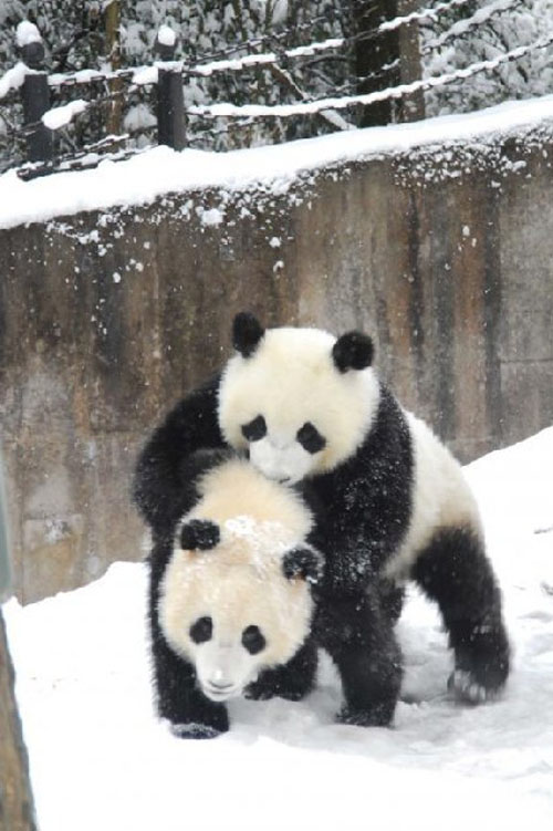 panda12 Amazing Photos of Pandas Play in Snow