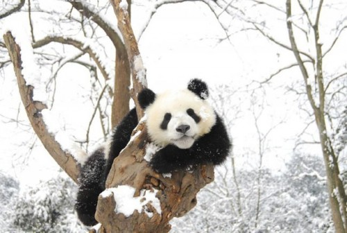 panda13 500x336 Amazing Photos of Pandas Play in Snow