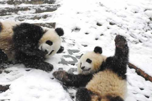 panda14 500x333 Amazing Photos of Pandas Play in Snow