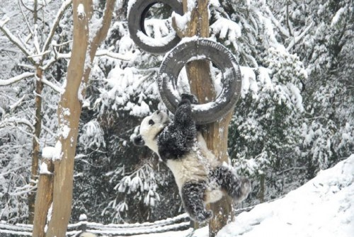 panda15 500x335 Amazing Photos of Pandas Play in Snow