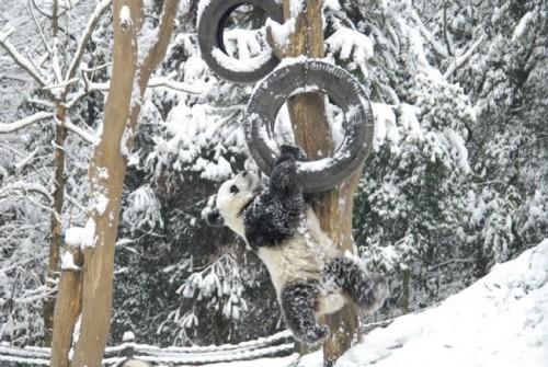 panda15 500x335 Amazing Photos of Pandas Play in Snow