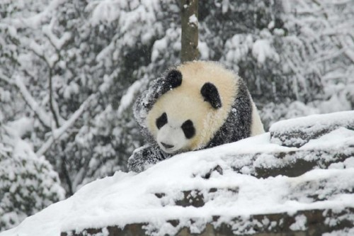 panda16 500x333 Amazing Photos of Pandas Play in Snow