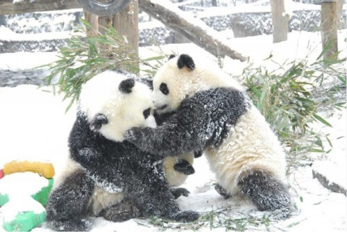 panda17 500x334 Amazing Photos of Pandas Play in Snow