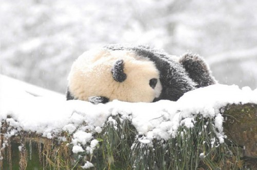 panda18 500x332 Amazing Photos of Pandas Play in Snow