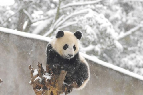 panda19 500x333 Amazing Photos of Pandas Play in Snow