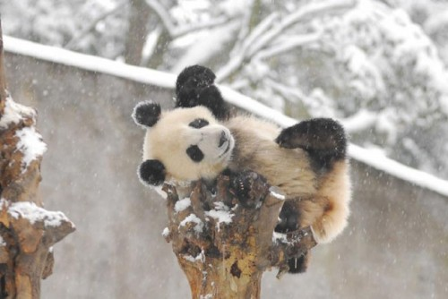 panda20 500x334 Amazing Photos of Pandas Play in Snow