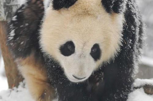 panda21 500x333 Amazing Photos of Pandas Play in Snow
