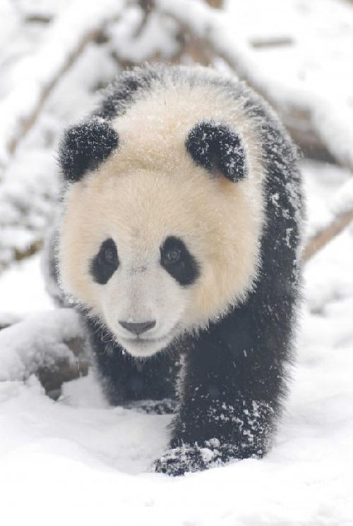 panda22 Amazing Photos of Pandas Play in Snow