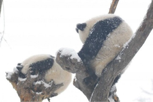 panda23 500x335 Amazing Photos of Pandas Play in Snow