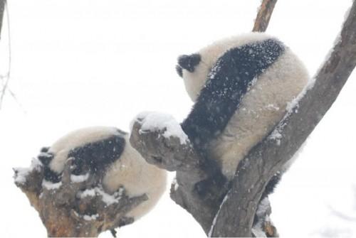 panda23 500x335 Amazing Photos of Pandas Play in Snow