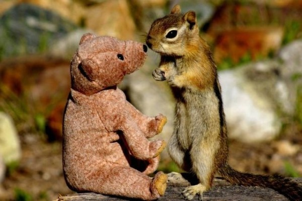 Squirrel in love with teddy bear01 600x399 Squirrel fell in love with teddy bear