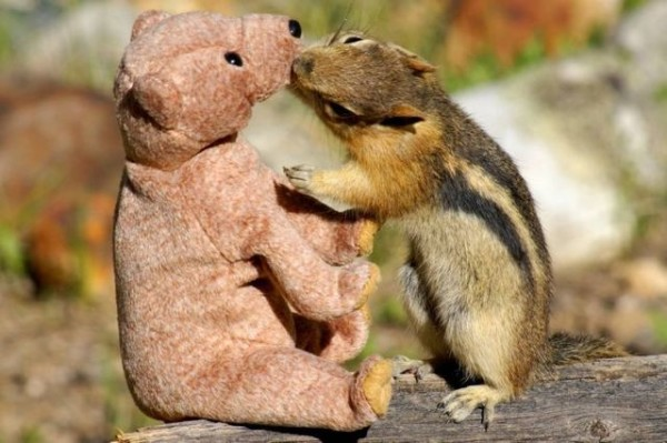 Squirrel in love with teddy bear02 600x399 Squirrel fell in love with teddy bear