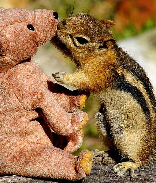 Squirrel in love with teddy bear03 Squirrel fell in love with teddy bear