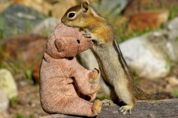 Squirrel in love with teddy bear04 600x399 Squirrel fell in love with teddy bear