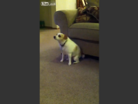 Hilarious Dog is dancing like a Boss - Video