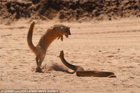 Mongoose vs Cobra