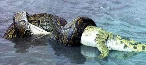 Snake vs Crocodile