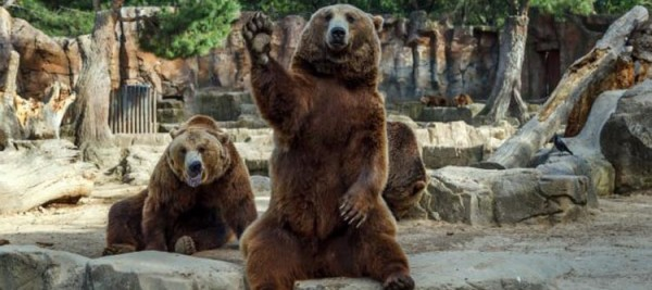 Brown bear waves his paw at visitors to his enclosure