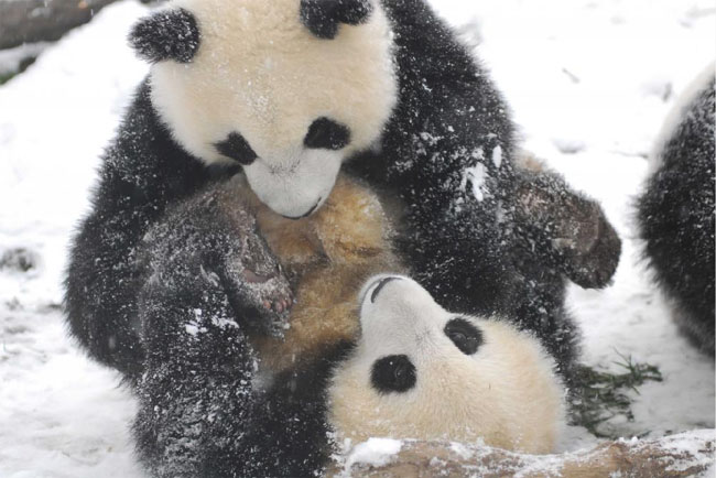 Pandas Play in Snow