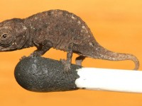 Brookesia micra - The world's smallest chameleon