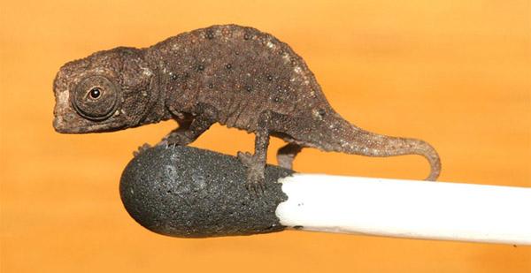 Brookesia micra - The world's smallest chameleon